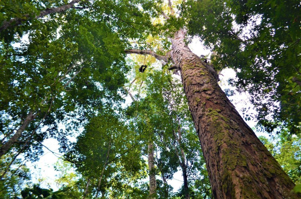 Maior árvore da Amazônia na divisa do Amapá com o Pará pode ajudar identificar outras 'gigantes'