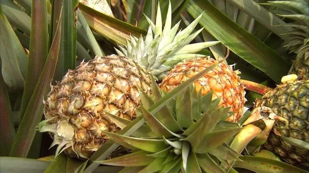 Agricultor de Marabá recebe apoio da Emater e aumenta produção